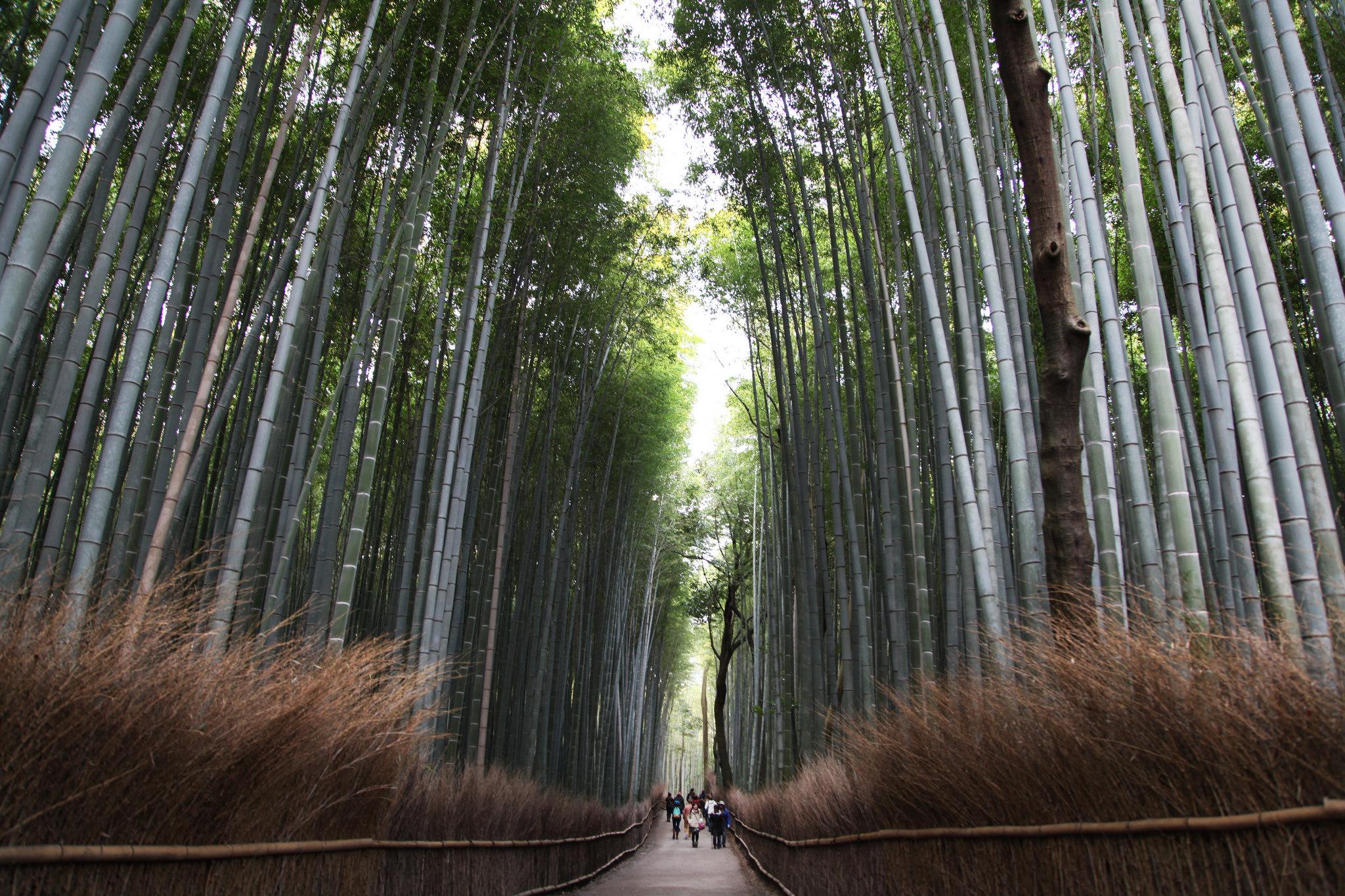 think_global_school_student_explore_arashiyamas_bamboo_forest
